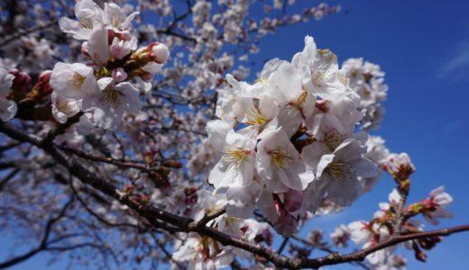 水戸千波湖の桜の見頃は?駐車場はある?実際に行ってみました。