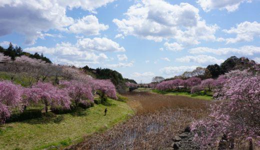 常陸風土記の丘の桜の見頃は?駐車場はある?ランチはできる?実際に行ってきた。